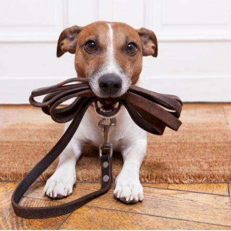 Dog holding leash in its mouth.