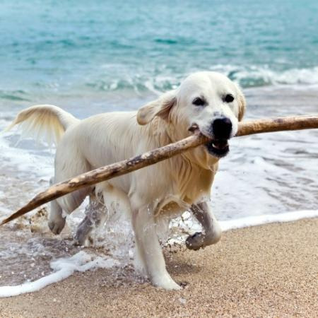 Dog Running At Beach with Stick In Mouth
