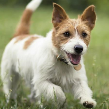 Little Brown and White Dog Running in Grass