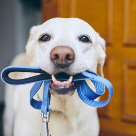White Colored Dog with Blue Leash in Mouth