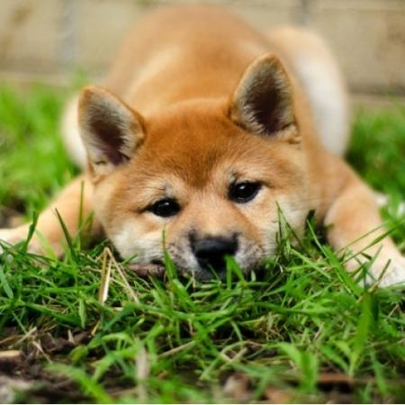Light Brown Dog Laying in Grass