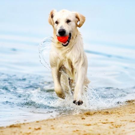 Dog Running in Water on Sand with Red Ball in Mouth