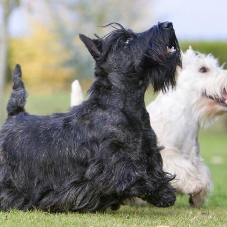 Black and White Scottie Dogs