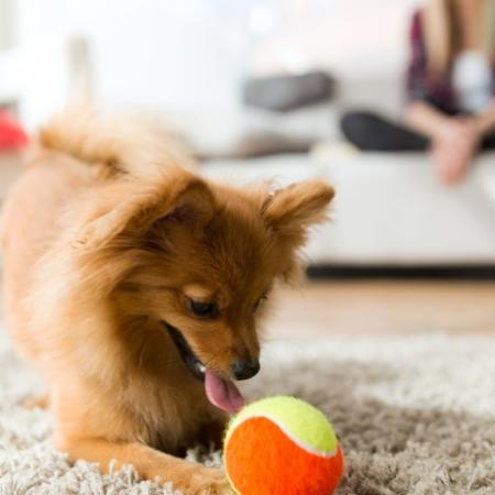 Dog playing in living room, pet friendly apartments cambridge