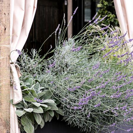 Lavender Plant at Rumi's Kitchen | Modera Sandy Springs